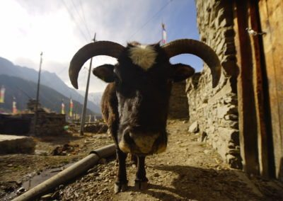 There are goats around every corner in Manang