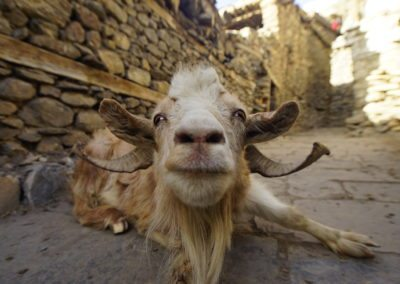 A goat on the narrow streets of Nepal
